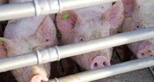Massenhaltung von Schweinen